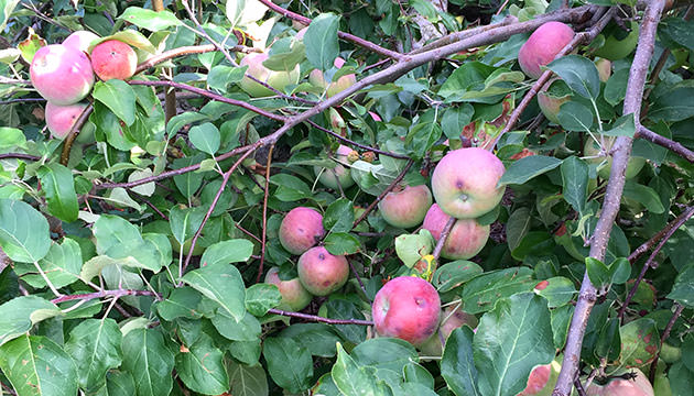 Photo of apples ripening on a tree at Meadowbrook Orchards