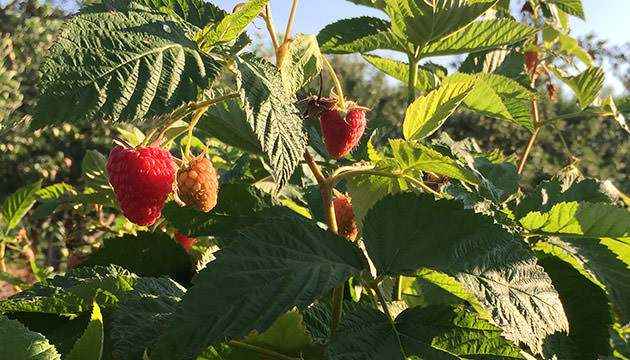 Photo of ripe raspberries on the vine